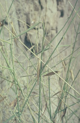 מעלה-עשן מדברי Leptadenia pyrotechnica (Forssk.) Decne.