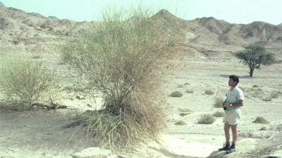 שיחי ערוצים במדבר. ירוקים בהירים, זקופים, בעלי גבעולים ירוקים מועטי- או חסרי-עלים.