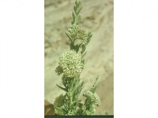 חרגל המדבר Solenostemma arghel (Delile) Hayne