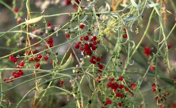 אינדיה נטויה Einadia nutans (R.Br.) A.J.Scott