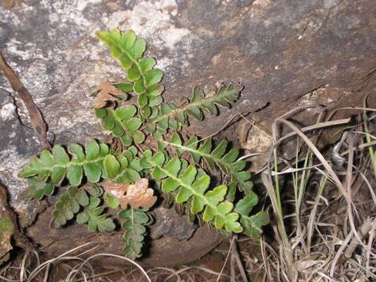 דנדנה רפואית Asplenium ceterach L.