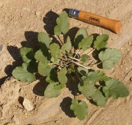 צמחים רב-שנתיים ירוקים. השורשים מעובים. צמחים קירחים או מקריחים.
