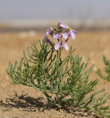 Pseuderucaria clavata (Boiss. & Reut.) O.E.Schulz