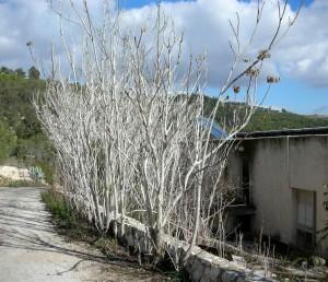עצים פלשניים שמתבססים בבתי-גידול זנוחים. משיר עלים בחורף.