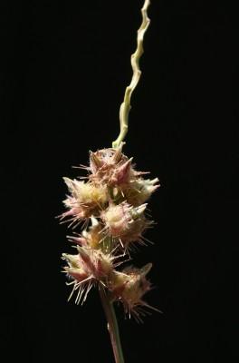 פוקה קוצנית Cenchrus echinatus L.