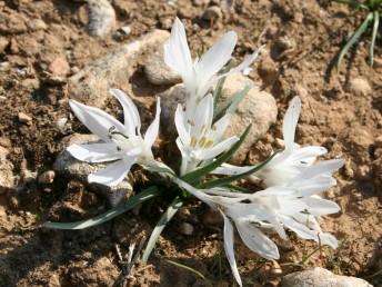העלים קרחים או שעירים מופיעים ביחד עם הפרחים או אחרי הפריחה.