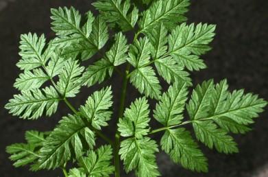 אונות העלים דמויות אזמל, שפתם משוננת. בעלי שורש עבה, מקומט לרוחבו. גובה הצמח 150-60 ס