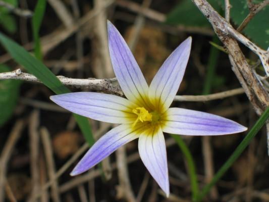 רומולאה סגלולית Romulea bulbocodium (L.) Sebastiani & Mauri