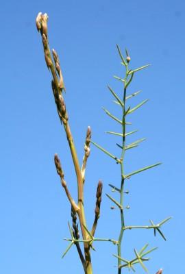 אספרג ארוך-עלים Asparagus horridus L.