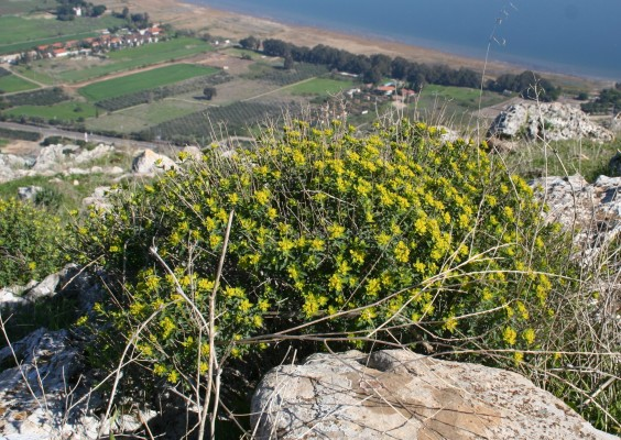 חלבלוב מגובשש Euphorbia hierosolymitana Boiss.
