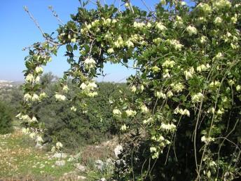 הפרחים בודדים בחיק העלים, קוטרם כ-5 ס