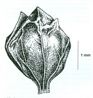 Atriplex davisii Aellen
