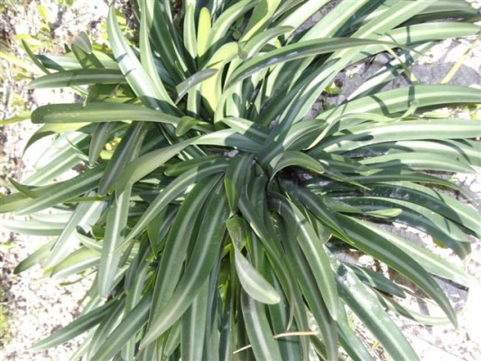בת-חבצלת קטנת-פרחים Vagaria parviflora (Desf. ex Delile) Herb.
