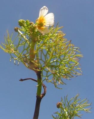 Ranunculus sphaerospermus Boiss. & Blanche