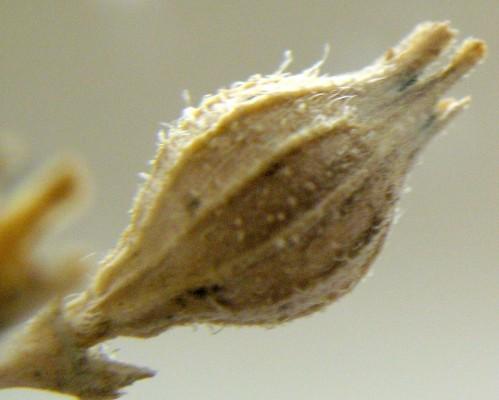 Silene tridentata Desf.