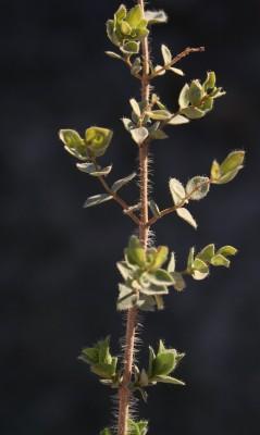 Origanum petraeum Danin
