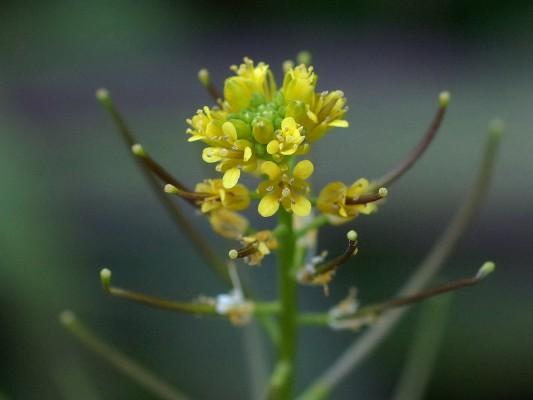 תודרה מעובה Sisymbrium erysimoides Desf.