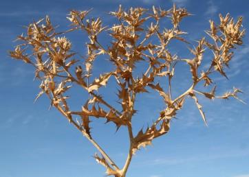 הקרקפות קרובות זו לזו ובקרבתן עלי-הגבעול העליונים. חפי המעטפת מפושקים ולאחר הפריחה כפופים לאחור.