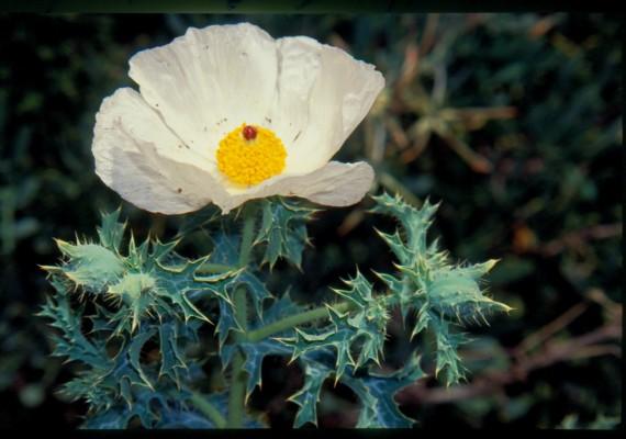 ארגמון מכסיקאי Argemone mexicana L.