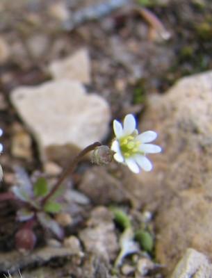 אביבית בינונית Erophila praecox (Steven) DC.