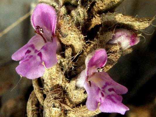אשבל מצרי Stachys aegyptiaca Pers.