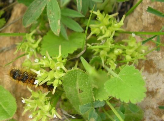 Valerianella sclerocarpa Fisch. & C.A.Mey.