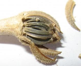 צמחי מדבר ננסיים חד-שנתיים. הזירעונים ההיקפיים כלואים בין חפי המעטפת, הפנימיים מסתיימים בנזר מצויץ וזעיר.