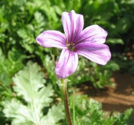 קוטר הפרח 2-1.5 ס