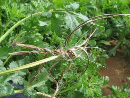מקור-חסידה יפה Erodium botrys (Cav.) Bertol.