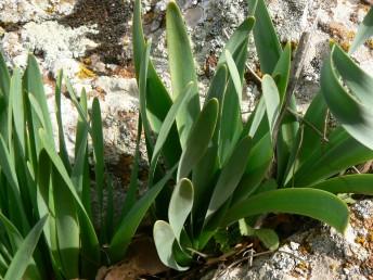 העלים מופיעים אחרי הפרחים, הם חסרים פס אמצעי לבנבן ושזורים מעט בציר האורך שלהם.