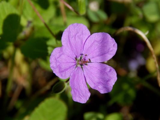 מקור-חסידה תמים Erodium subintegrifolium Eig