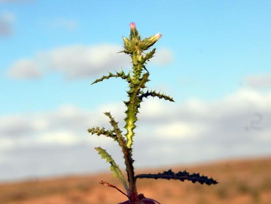 Carduus australis L.f.