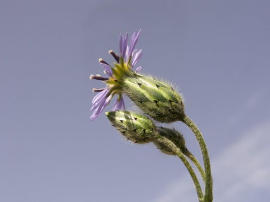 ישימונית דו-גונית Volutaria crupinoides (Desf.) Maire