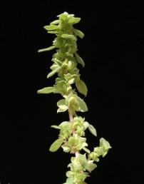 חפי הפרחים העליניים באורך של כ-3 מ