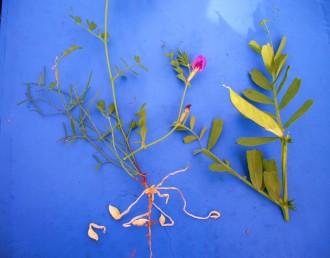 תת-מין אמפיקרפי ניחן בשני מיני פירות.