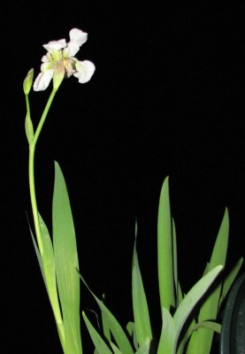 Iris albicans Lange