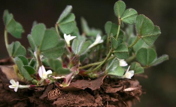 תלתן תת-קרקעי Trifolium subterraneum L.