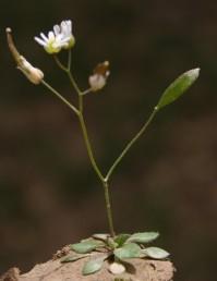 הפרי רקוע מוארך, בכל מגורה 20-10 זרעים. העלים דמויי ביצה או דמויי אזמל.