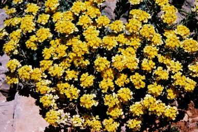 בני-שיח נמוכים הדוקים לסלעים בחרמון, בעלי פרחים גדולים.