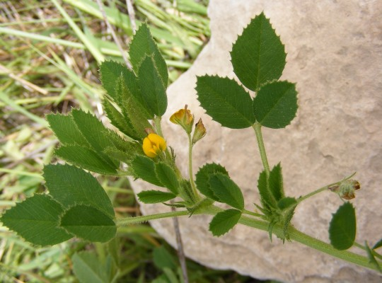 Medicago scutellata (L.) Mill.