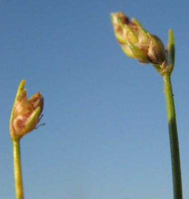 אגמון נטוי Scirpus cernuus Vahl
