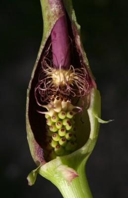 לוף ירוק Arum hygrophilum Boiss.