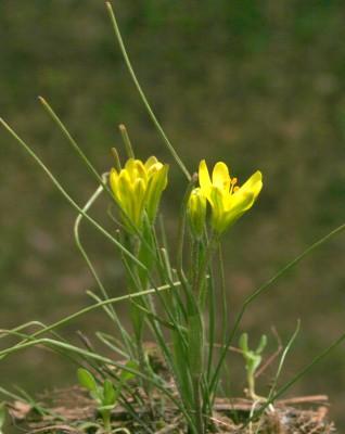 זהבית פעוטה Gagea bohemica (Zauschn.) Schult. & Schult.f.
