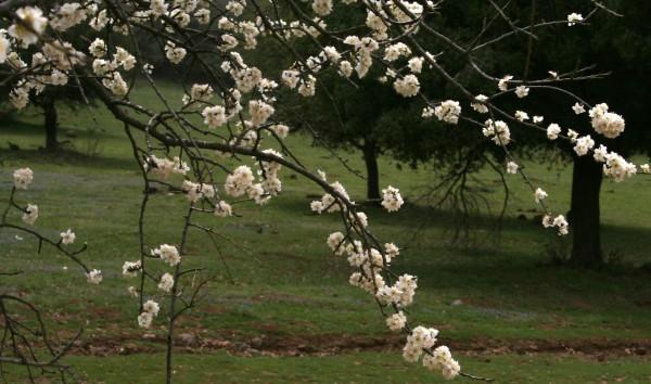 שזיף הדוב Prunus ursina Kotschy