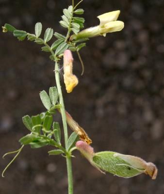 בקיית הכלאיים Vicia hybrida L.
