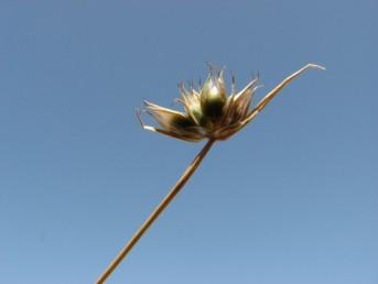 צמחים חד-שנתיים. הפרחים ערוכים בקרקפת בקצה הגבעול, קוטרה כ-1 ס