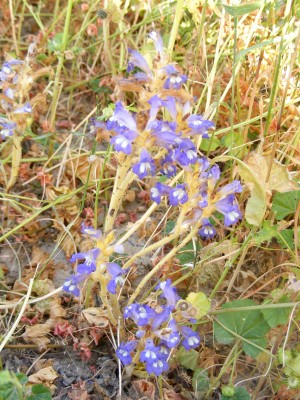 Orobanche aegyptiaca Pers.