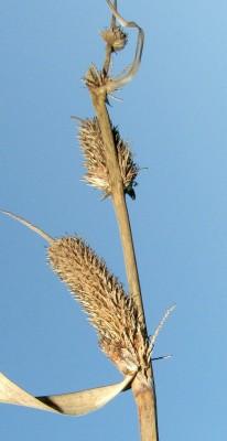כריך שעיר Carex hispida Willd.
