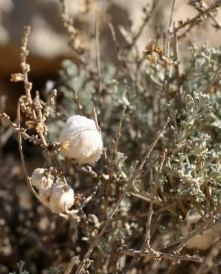 לענת המדבר Artemisia sieberi Besser