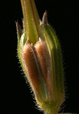 Erodium laciniatum (Cav.) Willd.